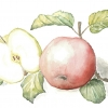 apple, aquarelle