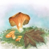 chanterelle, aquarelle